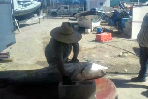 Detienen a cuatro personas con producto de totoaba en Baja California