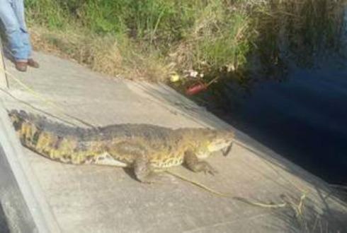 Capturan cocodrilo de 250 kilos en Madero, Tamaulipas