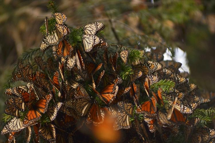 """Disminuye población de mariposas monarcas que llegaron a México"""""""